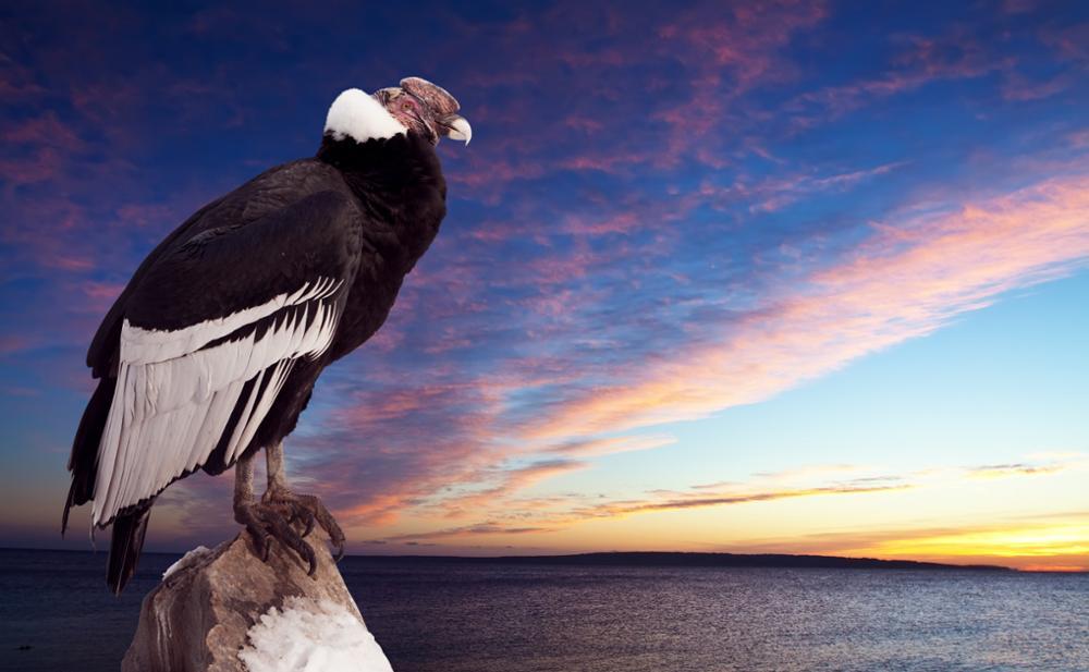 Observer le vol du condor des Andes dans la région d'Arequipa