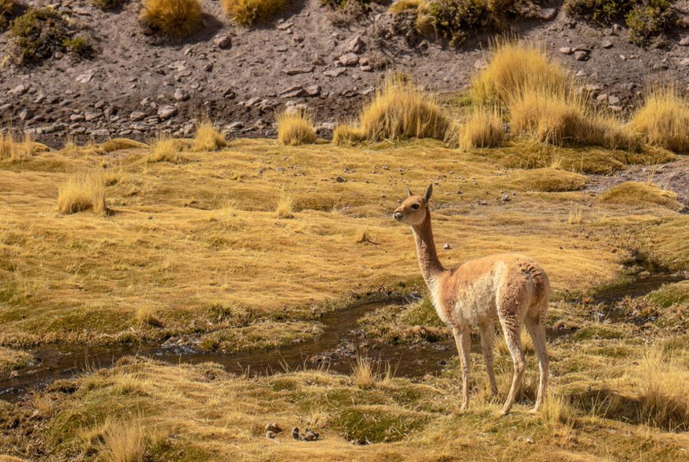 Les animaux typiques du Pérou que vous croiserez peut-être en voyage